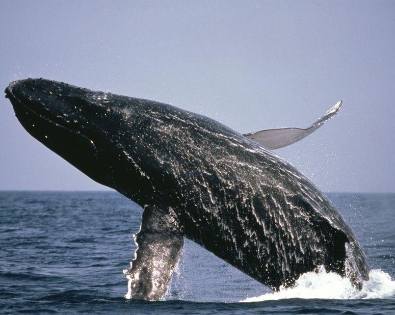 39742373 - whale