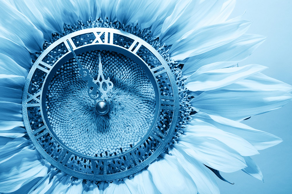 32363933 - sunflower-clock indicative approach of new year